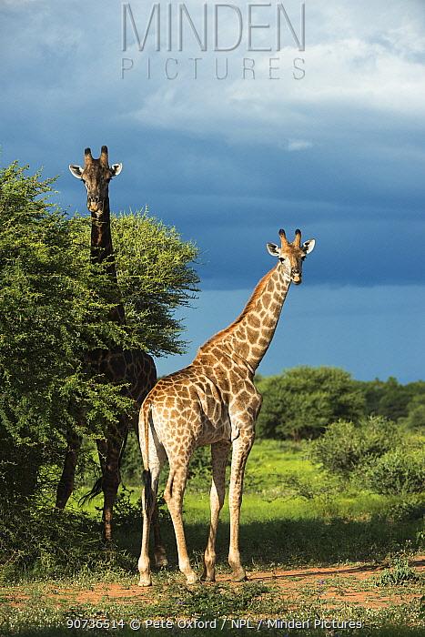 Two Giraffes (Giraffa camelopardalis) Marakele National Park, Limpopo Province, South Africa.