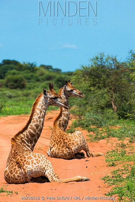 Two Giraffes (Giraffa camelopardalis) sitting on ground,  Marakele National Park, Limpopo Province, South Africa.