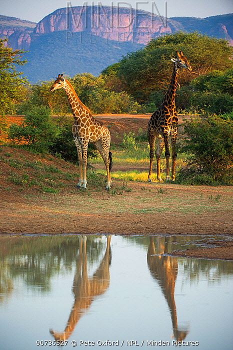 Two Giraffes (Giraffa camelopardalis) by water with reflections, Marataba, Marakele National Park, Limpopo Province, South Africa, February.