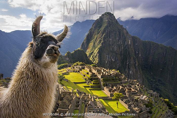 Llama (Lama glama) in front of Machu Picchu ruins, Andes, Peru, July 2006.
