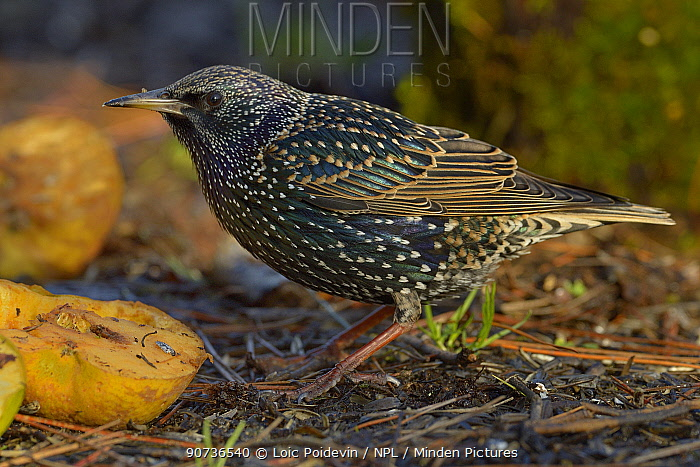 Common starling (Sturnus vulgaris) profile portrait, Loire Atlantique, France, January