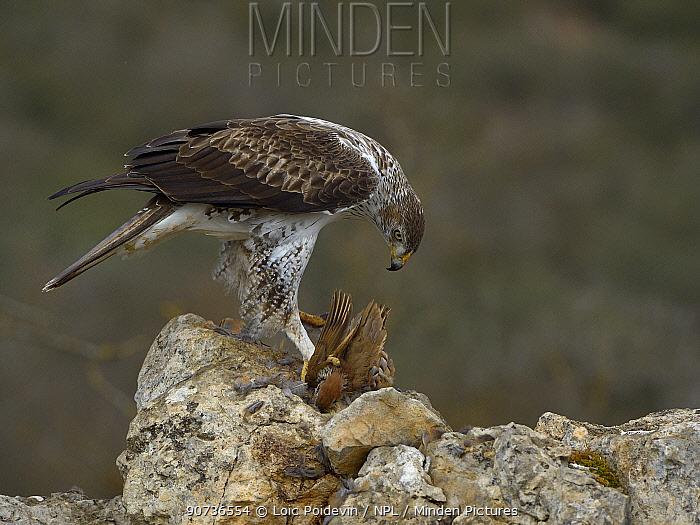 Bonelli's eagle (Aquila fasciata) feeding on Red-Legged partridge (Alectoris rufa) Catalogne, Spain, February