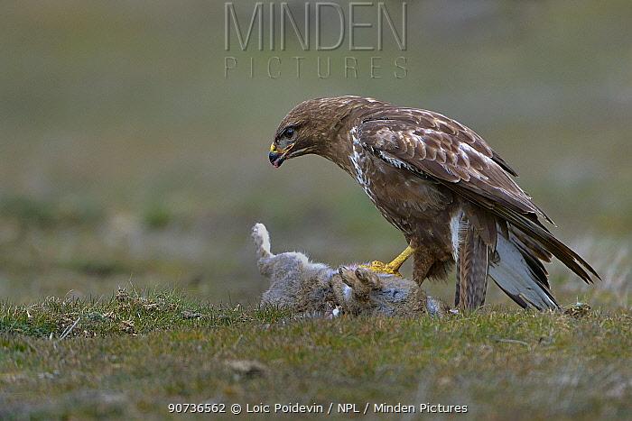 Common buzzard (Buteo buteo) eating a Common rabbit (Oryctolagus cuniculus) Sierra de Gredos, Spain, February