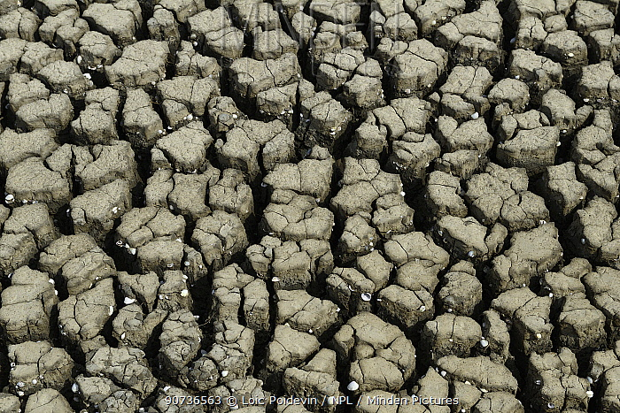 Dried mud patterns during drought, Marais Breton, Vendee, France, July 2015