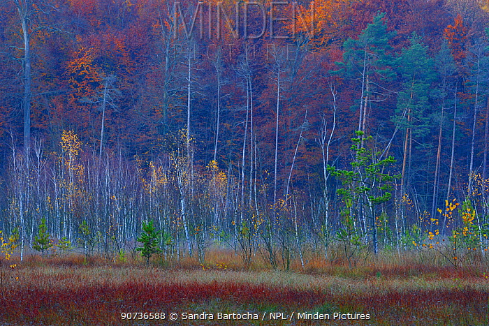 Pines, birches and beech trees in a bog near Schweingartensee, Serrahn, Muritz-National Park, World Natural Heritage site, Germany, Europe. November 2015.