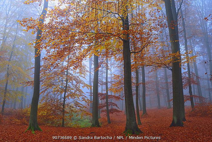 European beech (Fagus sylvatica), Serrahn, Muritz-National Park, World Natural Heritage site, Germany, Europe. November 2015.