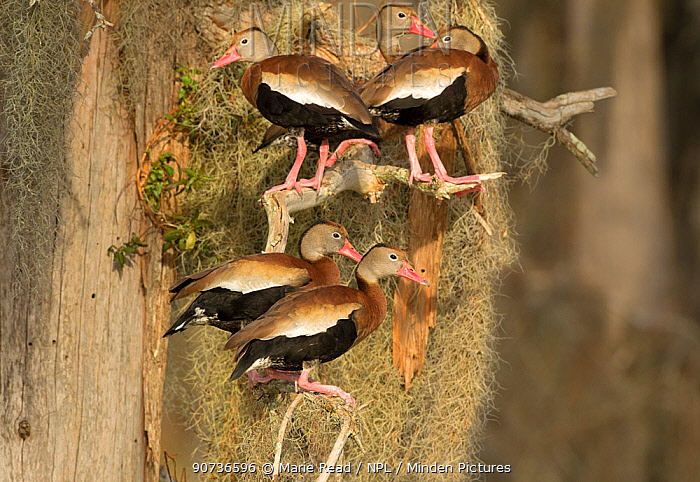 Black-bellied whistling-ducks (Dendrocygna autumnalis), group perched amid Spanish moss on bald cypress tree, Lakeland, Florida, USA, January.