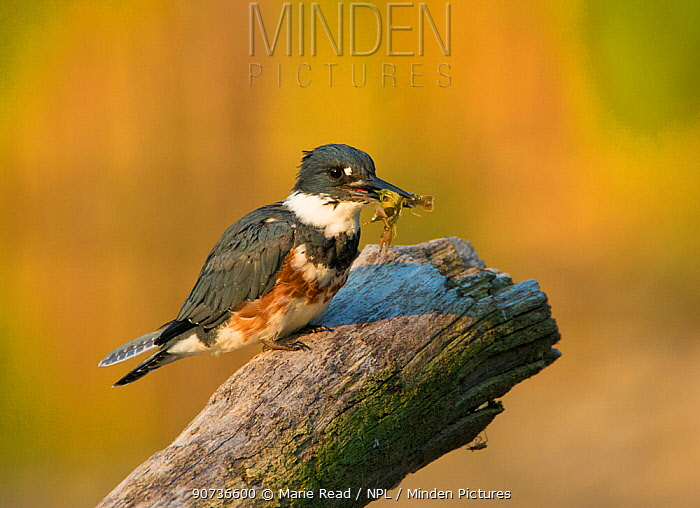 Belted Kingfisher (Ceryle alcyon) female holding prey (crayfish) in her bill, New York, USA