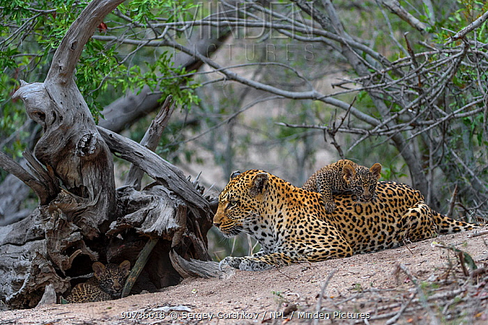 Leopard (Panthera pardus) mother with cub, Londolozi Private Game Reserve, Sabi Sands Game Reserve, South Africa.