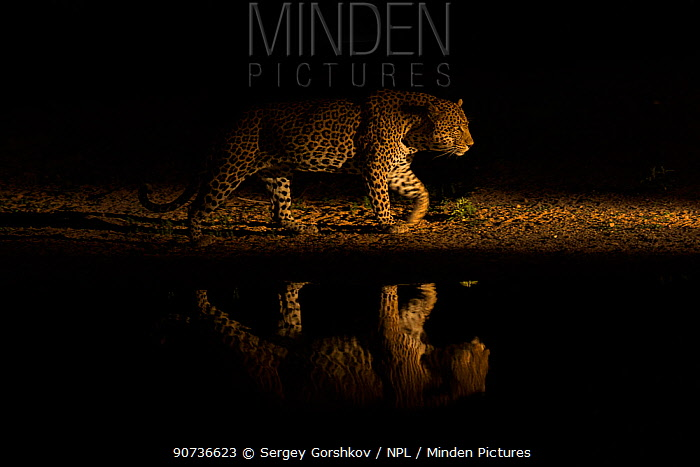 Leopard (Panthera pardus) walking along waterhole, reflected in the water at dusk. Londolozi Private Game Reserve, Sabi Sands Game Reserve, South Africa.