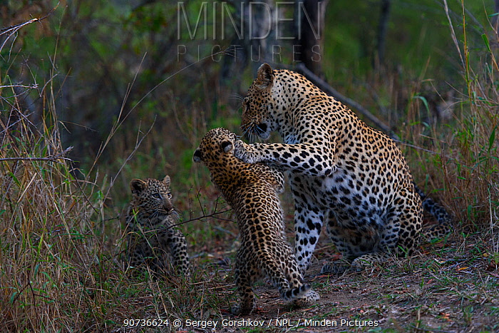 Leopard (Panthera pardus) mother and cub play fighting, Londolozi Private Game Reserve, Sabi Sands Game Reserve, South Africa.