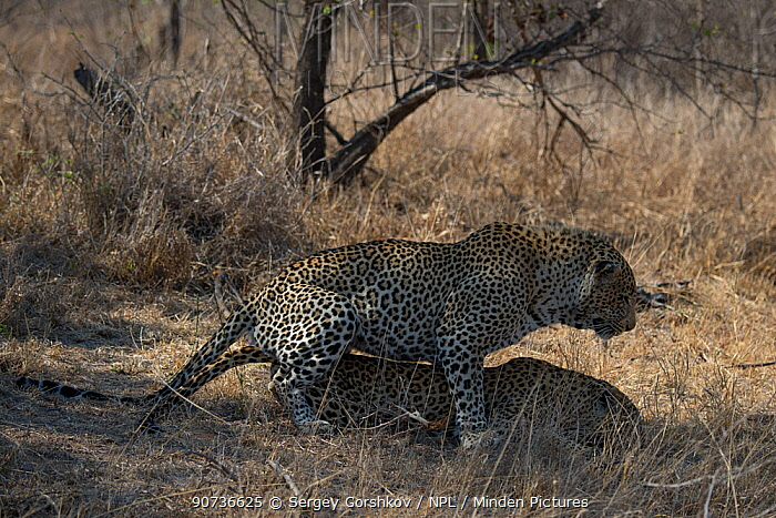Leopards (Panthera pardus) mating, Londolozi Private Game Reserve, Sabi Sands Game Reserve, South Africa.