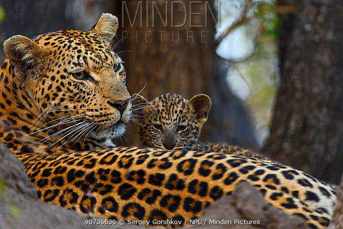 Leopard (Panthera pardus) mother resting with cubs Londolozi Private Game Reserve, Sabi Sands Game Reserve, South Africa.