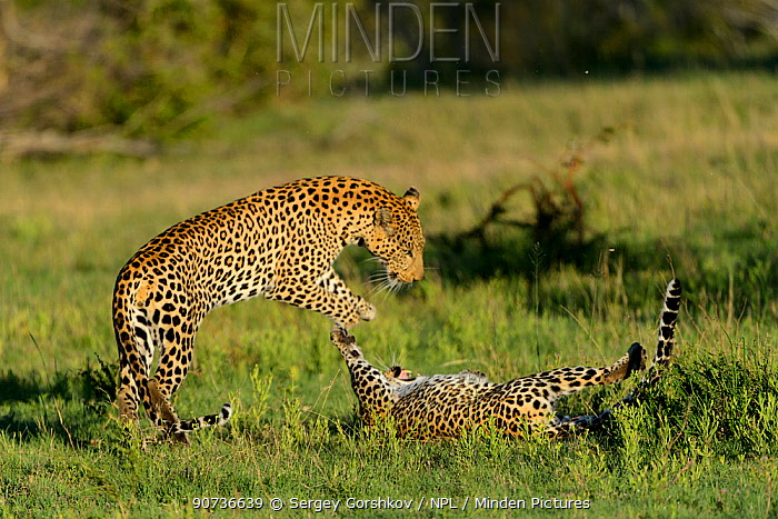 Leopards (Panthera pardus) juveniles play fighting, Londolozi Private Game Reserve, Sabi Sands Game Reserve, South Africa.