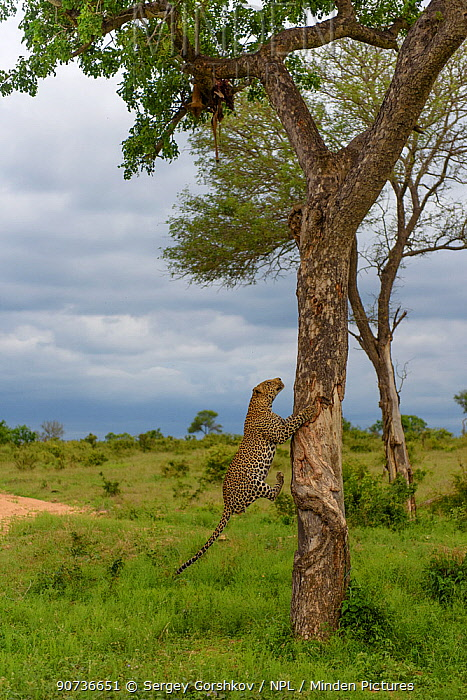 Leopard (Panthera pardus) climbing tree, Londolozi Private Game Reserve, Sabi Sands Game Reserve, South Africa. Sequence 3 of 12