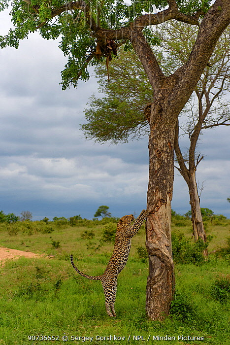 Leopard (Panthera pardus) climbing tree,  Londolozi Private Game Reserve, Sabi Sands Game Reserve, South Africa. Sequence 2 of 12