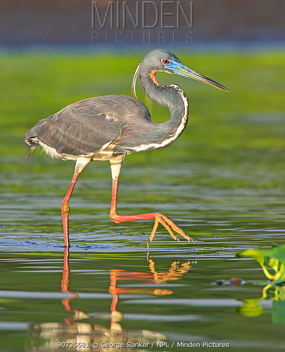 Tricolored heron (Egretta tricolor) walking in water, Everglades National Park, Florida, USA. March.