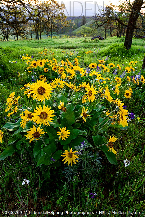 Arrowleaf Balsamroot (Balsamorhiza sagittata) in flower, near Rowena Crest in Tom McCall Preserve on historic Highway 30, Oregon, USA. April 2016.
