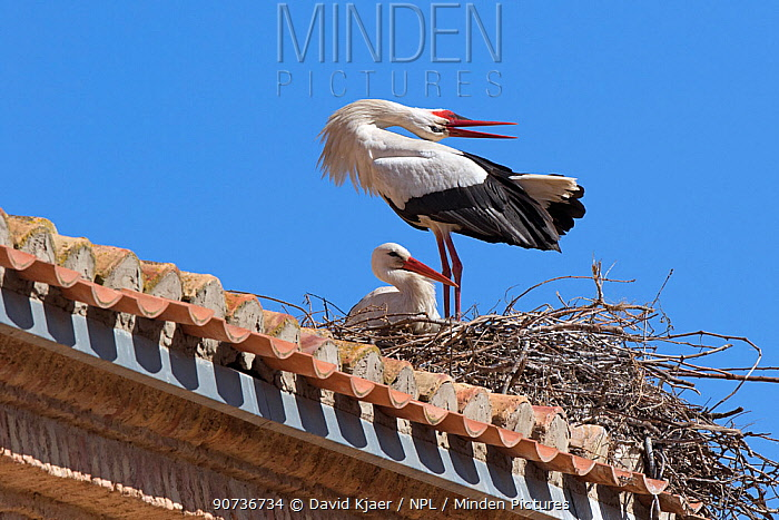 White stork (Ciconia ciconia) male displaying to female at nest, Alfaro, Spain Aril
