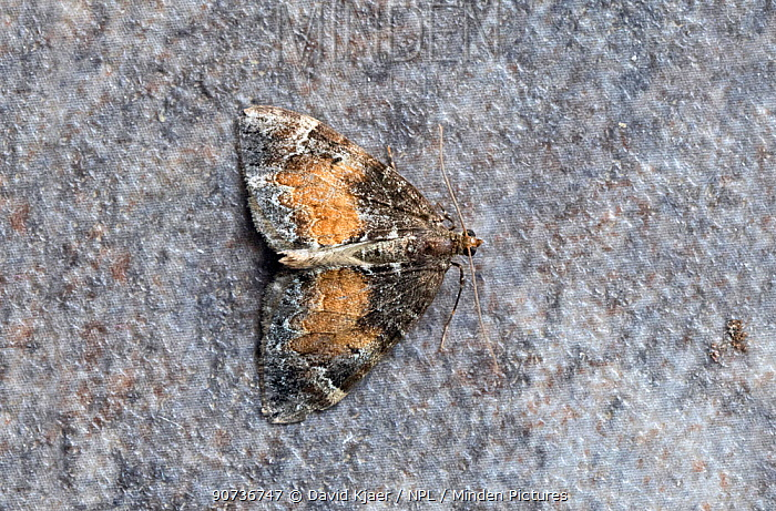 Common marbled carpet moth (Chloroclysta trucata) Wiltshire, UK