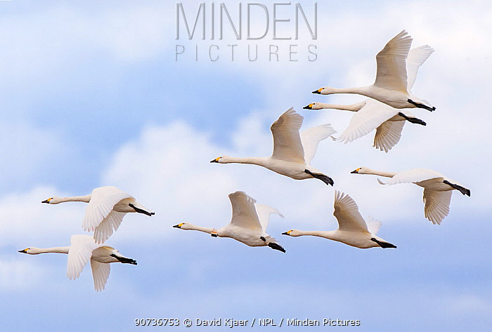 Bewick's swans (Cygnus columbianus) small flock in flight, Gloucestershire, UK February