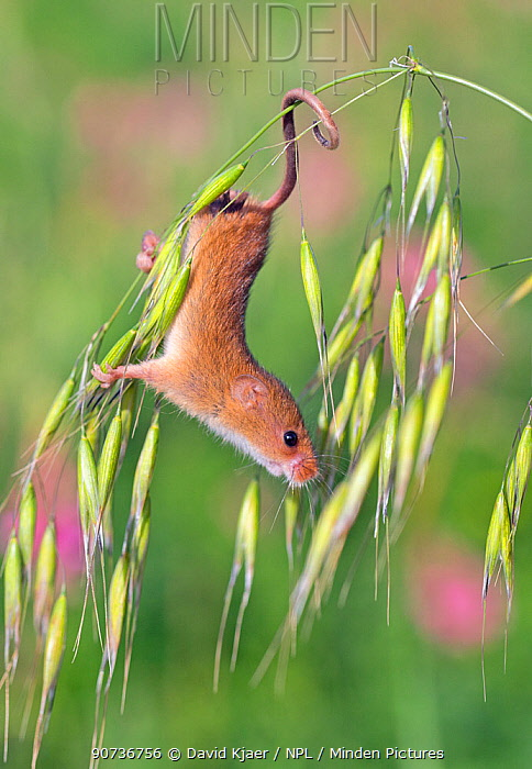 Harvest mouse (Micromys minutus) UK, captive