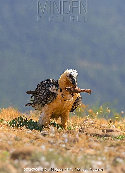 Lammergeier (Gypaetus barbatus) feeding on carcass, animal leg in beak, Pyrenees, Spain July