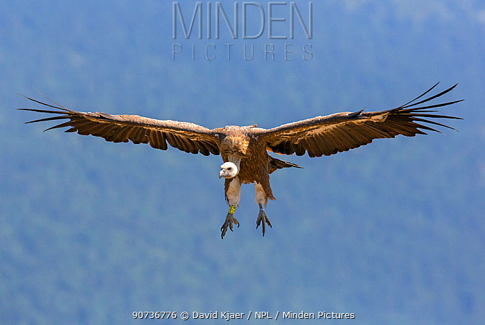 Griffon vulture (Gyps fulvus) coming in to land, Pyrenees, Spain July