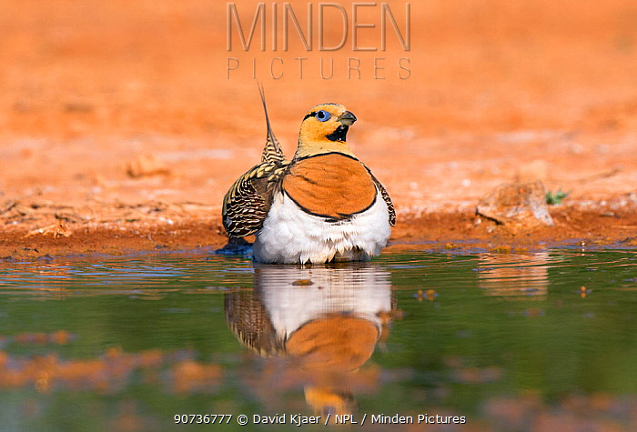 Pin-tailed sandgrouse (Pterocles alchata) male collecting water in belly feathers, Spain July
