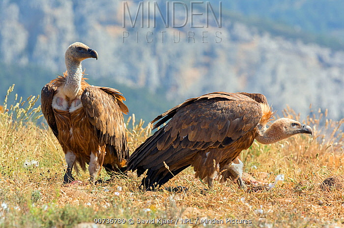Griffon vulture (Gyps fulvus) two on ground, Pyrenees, Spain, July