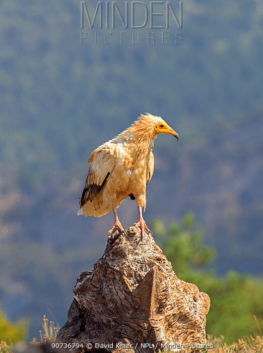 Egyptian vulture (Neophron percnopterus) perched on rock, Pyrenees, Spain July