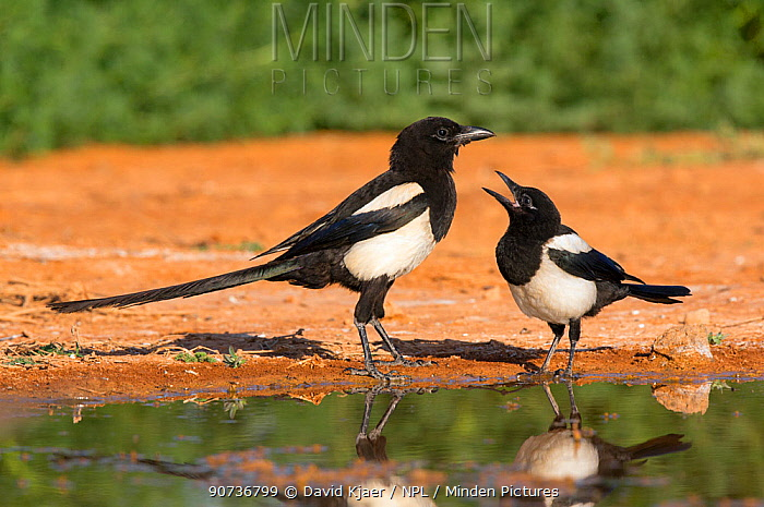 Magpie (Pica pica) two interacting, Spain, July