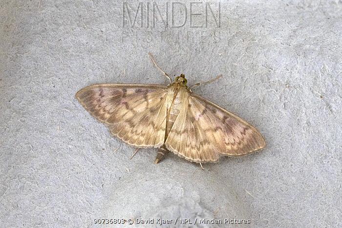 Mother of Pearl moth (Pleuroptya ruralis) Wiltshire, UK