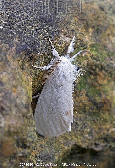 Yellow-tail moth (Euproctis similis) Wiltshire, UK