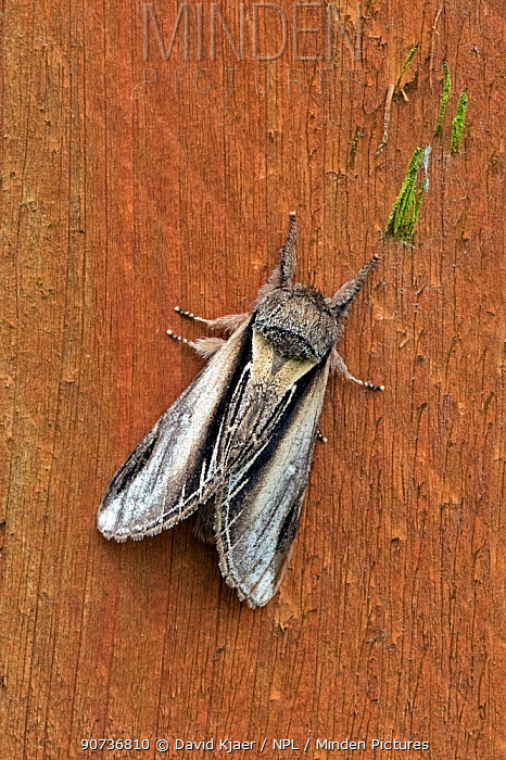 Swallow prominent (Pheosia tremula) Wiltshire, UK