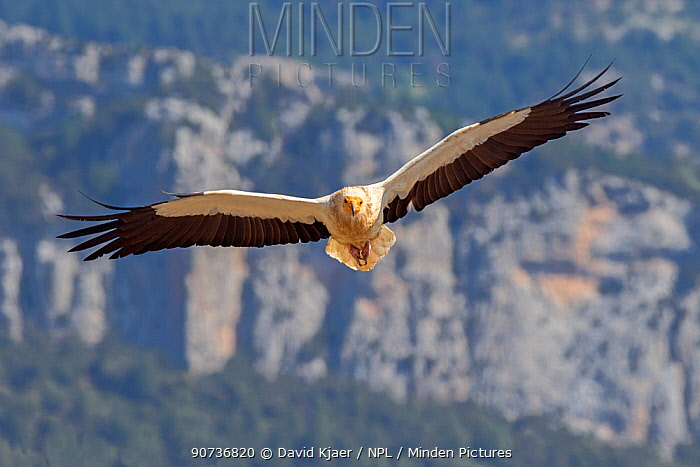 Egyptian vulture (Neophron percnopterus) in flight, Pyrenees, Spain, July