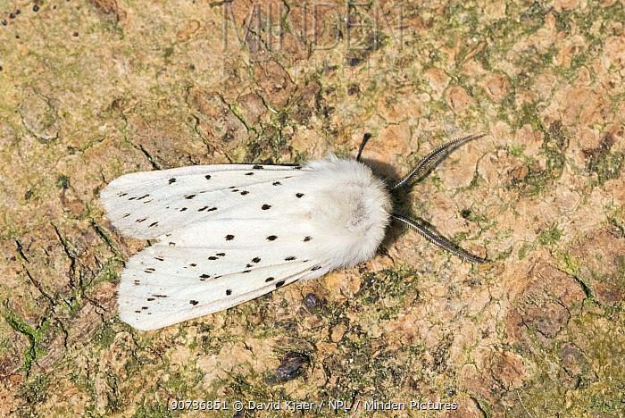 White ermin moth (Spilosoma lubricipeda) Wiltshire, UK