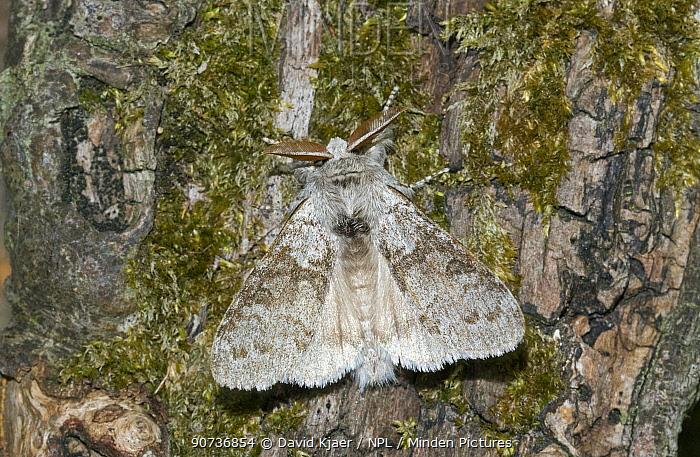 Pale tussock moth (Calliteara pudibunda) Wiltshire, UK