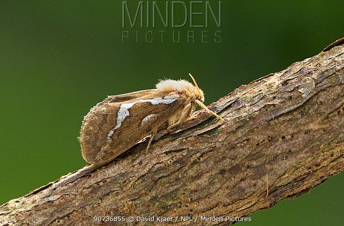 Common swift caterpillar (Hepialus lupulinus) Wiltshire, UK