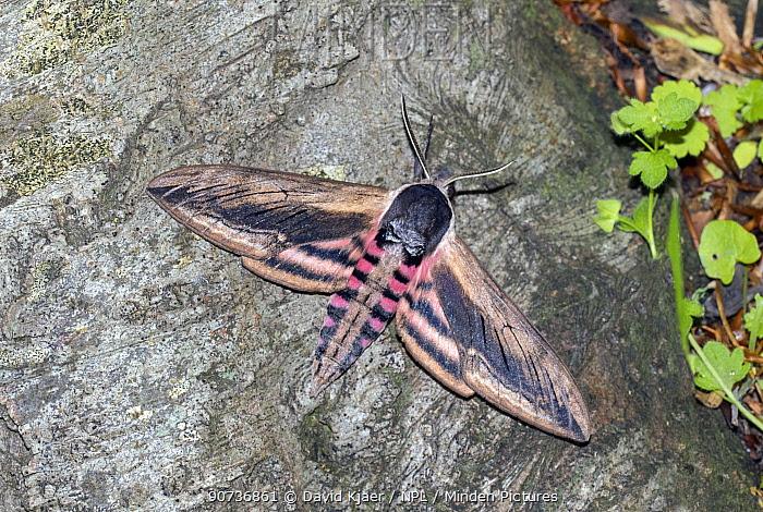 Privet hawkmoth (Sphinx ligustri) Wiltshire, UK