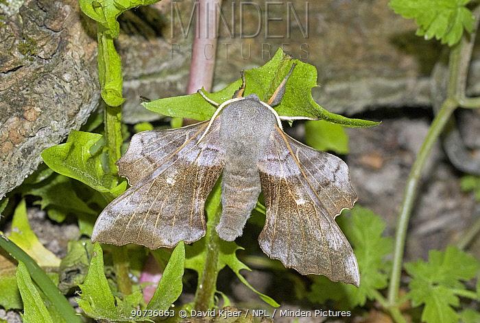 Poplar hawkmoth (Hyloicus pinastri) Wiltshire, UK