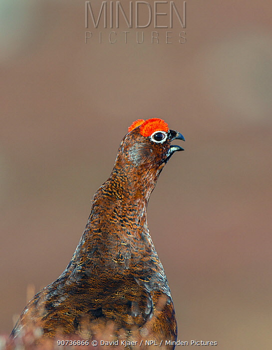 Red grouse (Lagopus lagopus scoticus) male in spring, Deeside, Scotland April