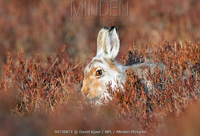Mountain hare (Lepus timidus) in early spring coat, Deeside, Scotland