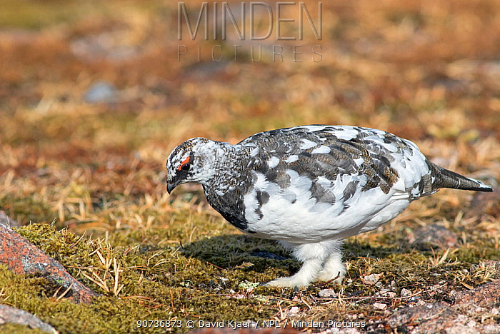 Ptarmigan (Lagopus mutus) male in early spring with mid-way plumage, Cairngorms, Scotland, April