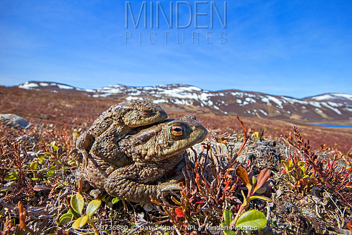 Common toad (Bufo bufo) pair in amplexus, Deeside, Scotland April