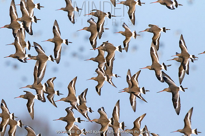 Black-tailed godwit (Limosa limosa) flock in flight,  Gloucestershire, UK January