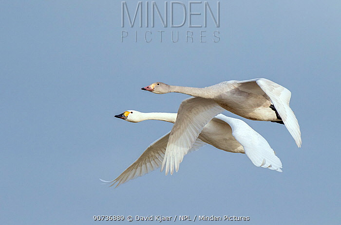 Bewick's swan (Cygnus columbianus) two in flight, Gloucestershire, UK January