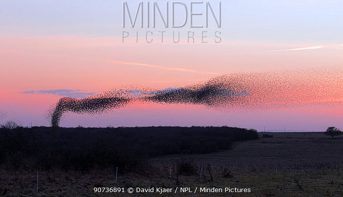 Starling (Sturnus vulgaris) murmuration / mass gathering at winter roost, Salisbury Plain, Wiltshire, UK January