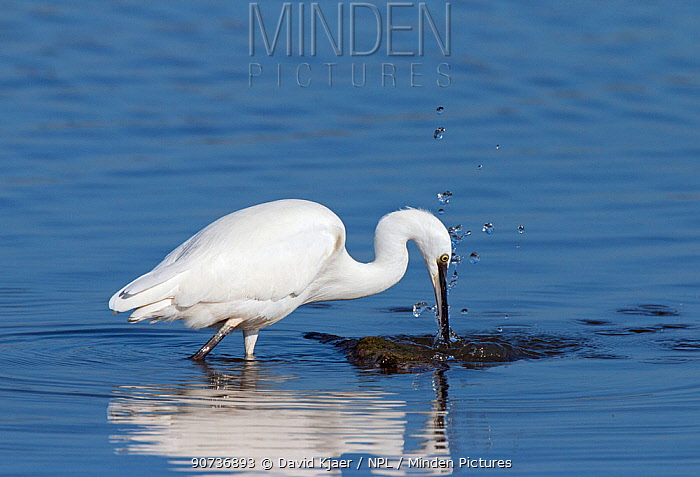 Little egret (Egretta garzetta) feeding in water, Brownsea, Dorset, UK October