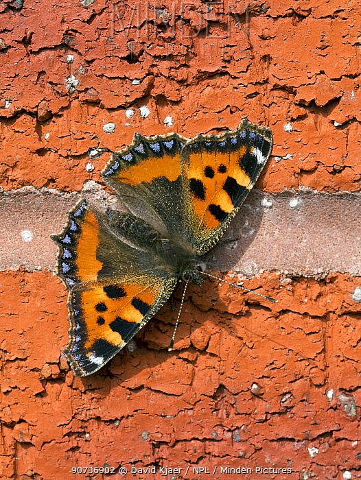 Small tortoiseshell butterfly (Aglais urticae) Wiltshire, UK